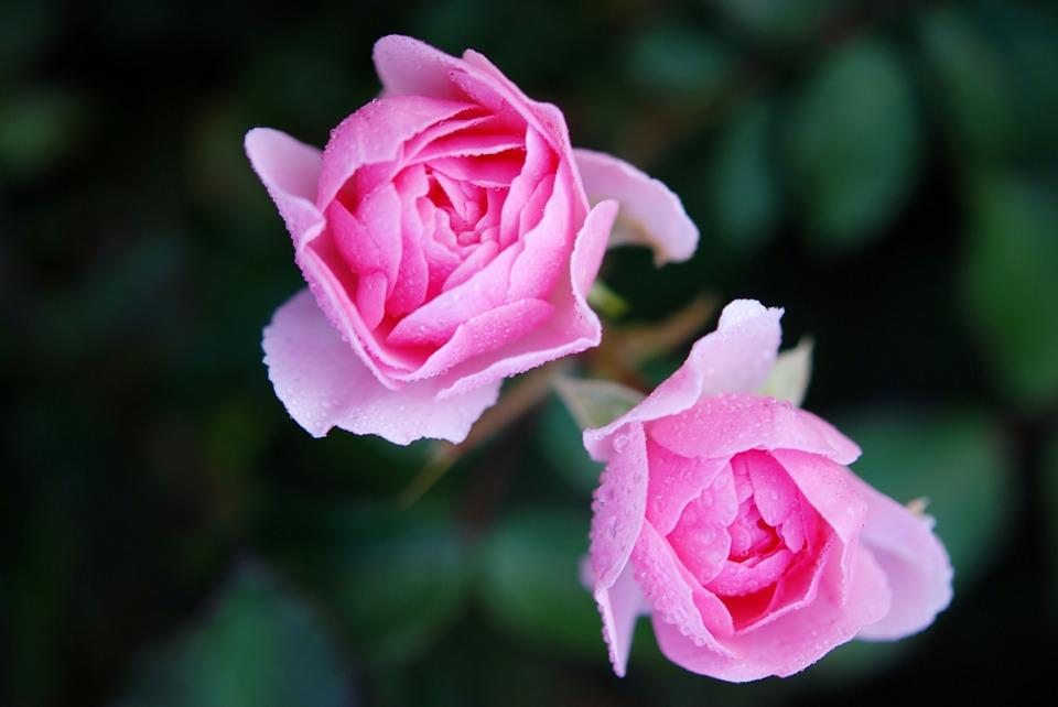 3 Tips dan Cara Menanam Bunga Mawar